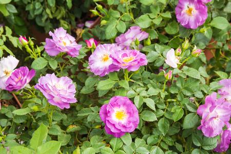 Image of violet roses