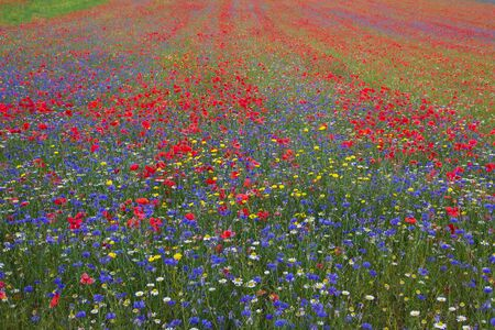plateau of flowers: Sea of wild flowers in Castelluccio di Norcia, Umbria - Italy. Pian Grande di Castelluccio Perugia, Umbria, Italy, famous plateau in the natural park of Monti Sibillini