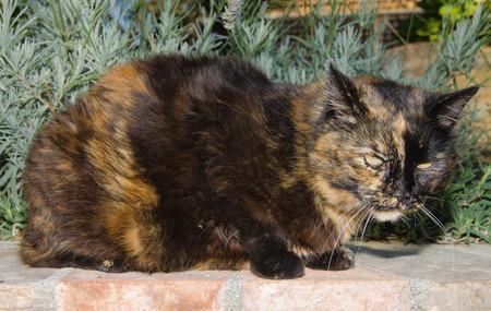 calico cat: Photo of european calico cat Stock Photo