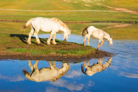 caballo bebe: Dos caballos que beben en el lago