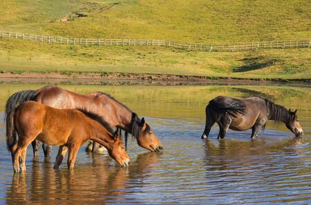 caballo bebe: Caballos salvajes que beben en el lago Pantani di Accumoli