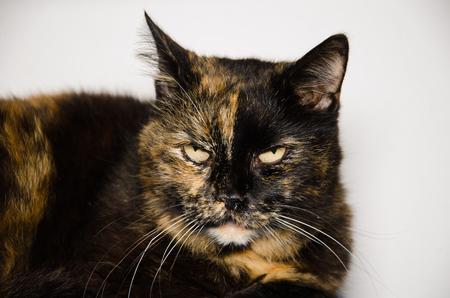 calico: Studio portrait of european calico cat