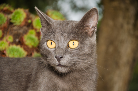 gray backgrund: Chartreux kitten looking the camera Stock Photo