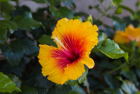 rosemallow: Hibiscus, the national flower of Malaysia