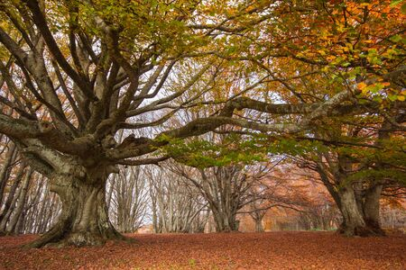 monumental: Autumn landscape with monumental beech. Canfaito, Marche - Italy Stock Photo