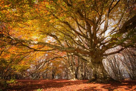 Photo of monumental beech of Canfaito Marche - Italy in the autumn season with red leaves