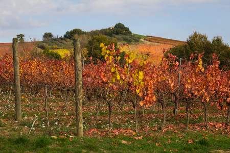 pinot grigio: Vineyard in the autumn season. Stock Photo