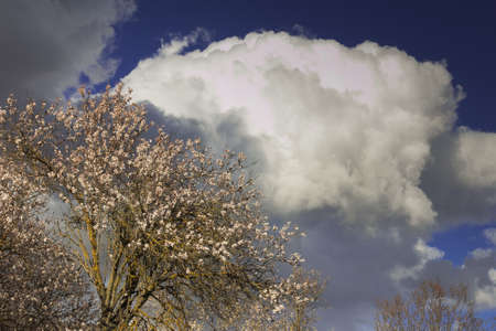 bluesky: Almond tree blooming in Abruzzo against bluesky and clouds, Spring sky.