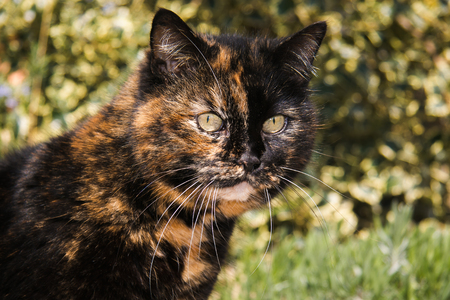 calico whiskers: Big tricolor lady cat in the garden