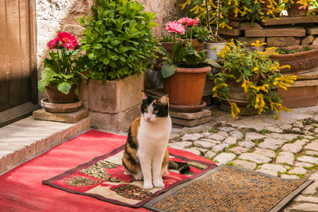 spello: Tricolor cat on Spello alley Stock Photo