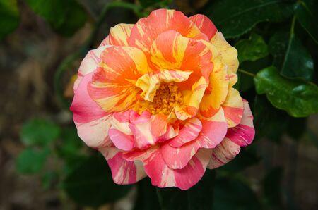bicolor: Beautiful bicolor red and yellow rose(rosa hybrida)