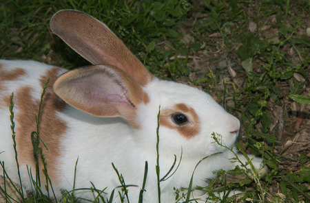 in profile: Profile of young bunny