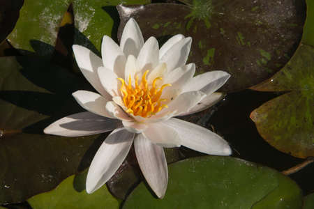 waterlily: Lotus, water lily , waterlily isolated on the lake