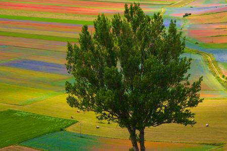 castelluccio di norcia: Isolated tree on the Pian Grande flowering, Castelluccio di Norcia - Italy.