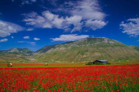 castelluccio di norcia: Flowering in Castelluccio di Norcia, Pian grande, landscape in bloom