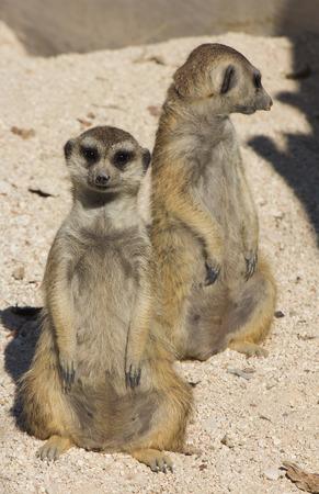 at meerkat: Couple of funny meerkat