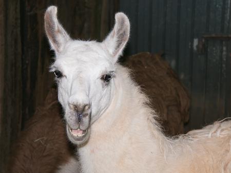 siete: Portrait of white llama