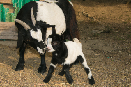 baby goat: Portrait of baby goat kissing her mother Stock Photo