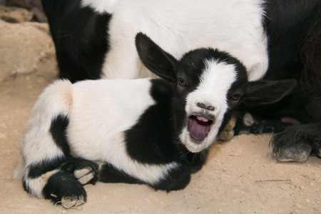 Crazy animal: baby goat with open mouth