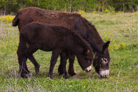 mamma: Mother donkey with her little puppy, Umbria