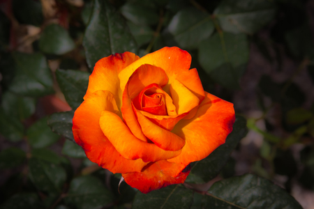 Macro of Red and yellow rose of passion Stock Photo