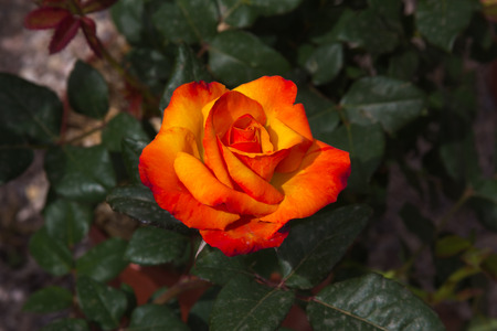 Close up of red and yellow rose of passion