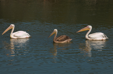 Pelicans swimming in the Tevere river Stock Photo