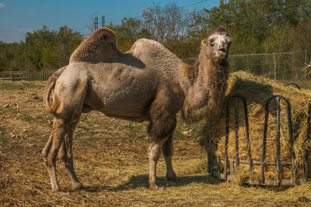 Portrait of dromedary with funny expression
