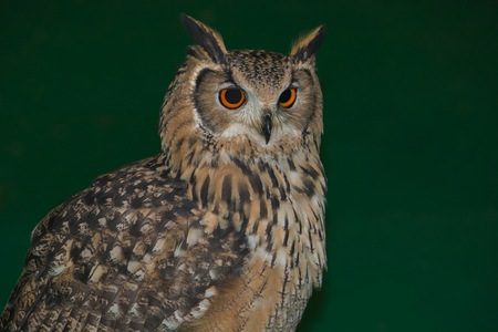 Save Download Preview Studio portrait of beautiful Eurasian eagle-owl isolated on green background Stock Photo