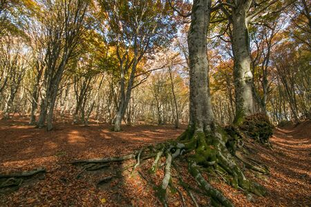 Beech trees with big roots in the wood Stock Photo