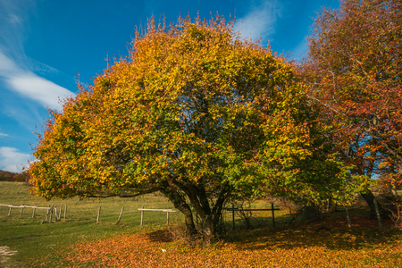 Isolated beech tree in the park