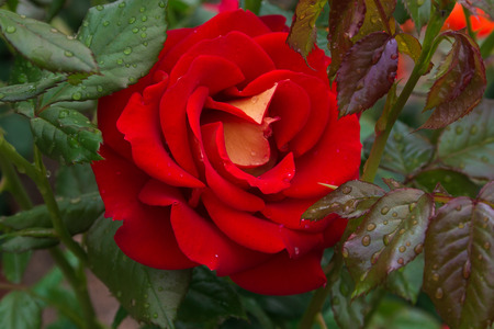Macro of red rose with raindrops after the storm