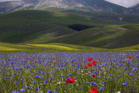 Flowering in the Pian Grande of Castelluccio di Norcia, Umbria, Italy