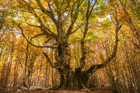 The beech of the Pontone (faggio del Pontone): 600 years of a monumetal testimony in Abruzzo
