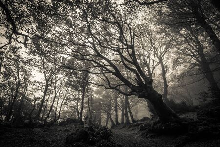 Autumn beech forest of Monte Cucco in black and white