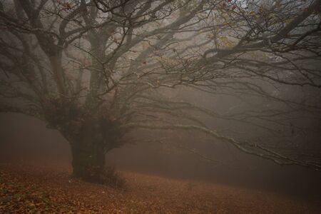 Typical autumn landscape with giant beech tree in the fog