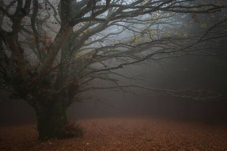 Typical dark autumn landscape with giant beech tree lost in the fog