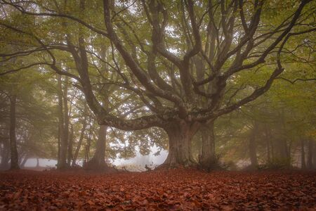A walk in nature among the secular beech trees of Canfaito with fog, a large plateau situated on the slopes of Monte San Vicino