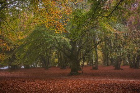 Monumental beech tree with red leaves in the autumn season