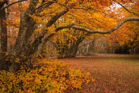Photo of secular beech tree with orange leaves in the autumn season