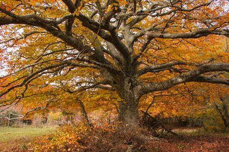Foto der säkularen Buche mit orangefarbenen Blättern in der Herbstsaison