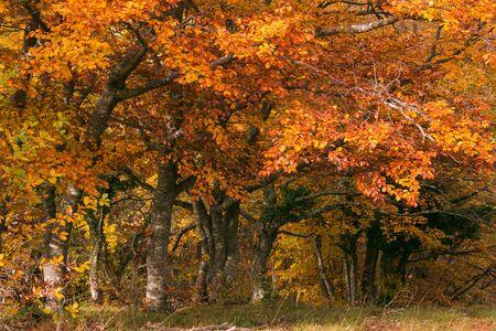 Piękne jesienne kolory w rezerwacie przyrody Canfaito, Marche, Włochy