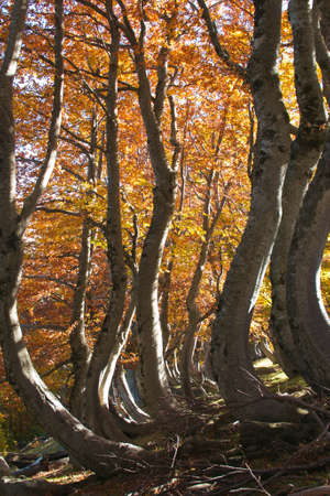 Colored leaves in the wild forest of Abruzzo in the autumn season