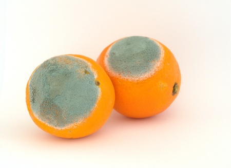Two moldy oranges photo
