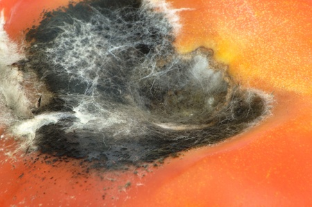 moldy: Moldy tomato es  Stock Photo