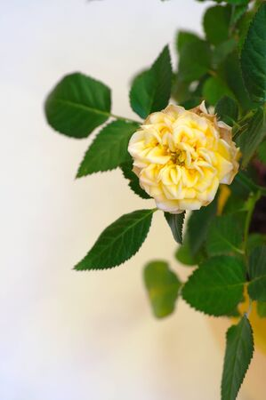 life after death: Life and death of a rose