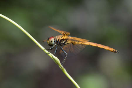 snaketail: Dragonfly on the branch. Stock Photo