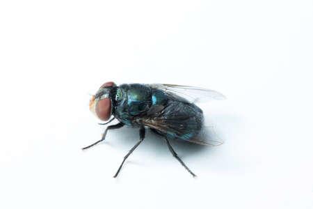 diptera: House fly Stock Photo