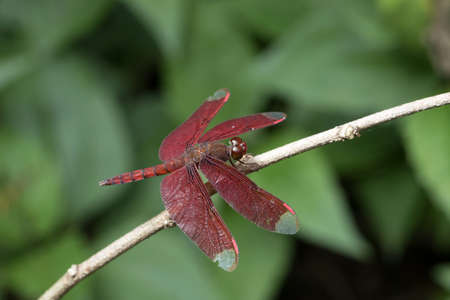 odonata: Red Dragonfly