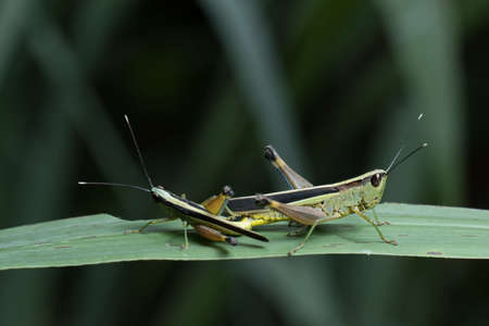 acrididae: Grasshopper mating Stock Photo